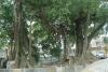 Cây đa trăm tuổi có thân và bộ rễ gồm hơn 15 thân lớn nhỏ rất đẹp.
