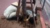 Công nhân đào đất gỡ lưới cước bọc gốc cây xanh (Ảnh Nguyễn Dương)